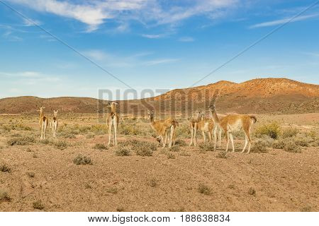 Group Of Guanacos At Patagonia Landscape, Argentina
