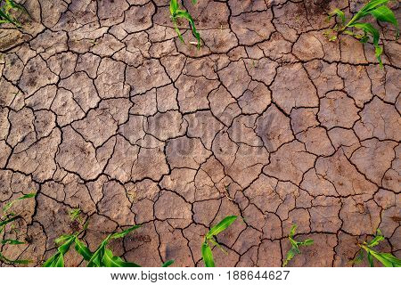 Dry cultivated corn field land with cracks top view of soil and maize crop plants with copy space