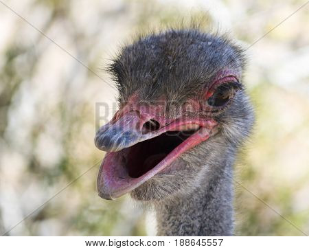 A Close Up Portrait of a Male Ostrich or Struthio camelus