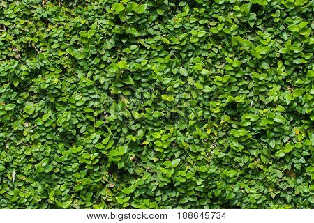 Green Leaf Background For Green Leaf Wall Texture Background