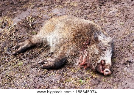 Killed Wild Boar In Autumn Forest