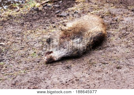 Killed Wild Boar At Autumn Forest
