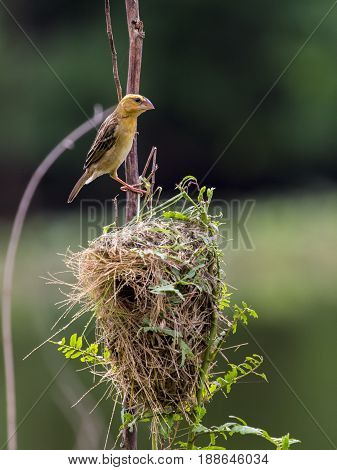 Stock Photo - Image of bird nest and Asian golden weaver (Ploceus hypoxanthus) on nature background.
