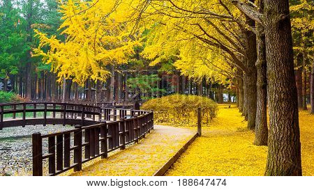Autumn With Ginkgo Tree In Nami Island, Korea.