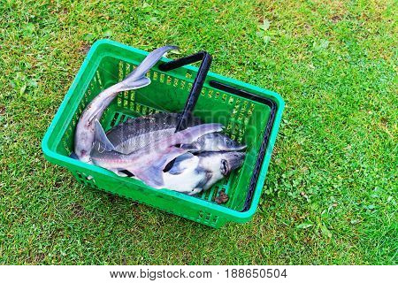 Sturgeon catch lying in the basket Vilnius countryside in Lithuania.