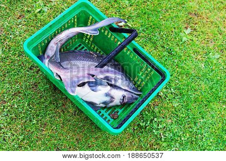 Sturgeon catch lying in the basket Vilnius countryside Lithuania.