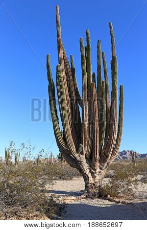 Large elephant Cardon cactus or cactus Pachycereus pringlei at a desert landscape with blue sky, Baja California Sur, Mexico.