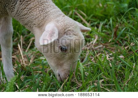 White Lamb Eating - Standing On The Grass (meadow)