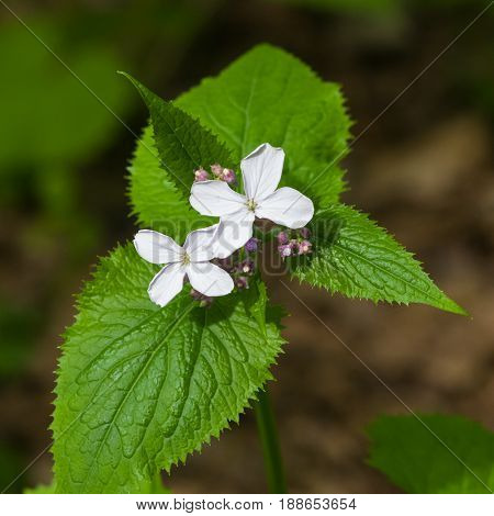 Perennial honesty or Lunaria rediviva flowers macro dark bokeh background selective focus shallow DOF.