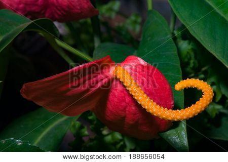 Flamingo Flower or Anthurium scherzerianum red and orange blossom close-up at greenhouse selective focus shallow DOF.