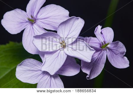 Perennial honesty or Lunaria rediviva flowers macro with dark bokeh background selective focus shallow DOF.