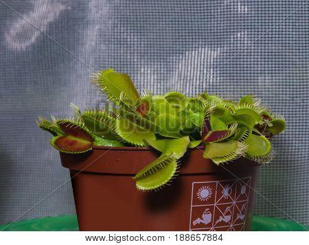 Venus flytrap or Dionaea muscipula carnivorous plant in flowerpot close-up selective focus shallow DOF.