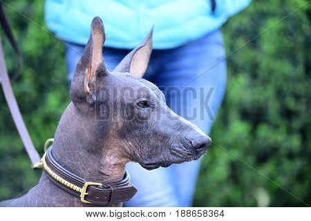 mexican hairless dog portrait on blurred background