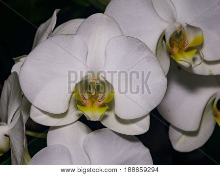 Moth orchid or Phalaenopsis white flower close-up selective focus shallow DOF.