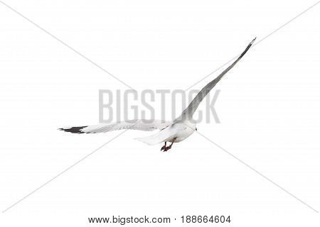 Seagull flying away wings spread isolate on white background from behind