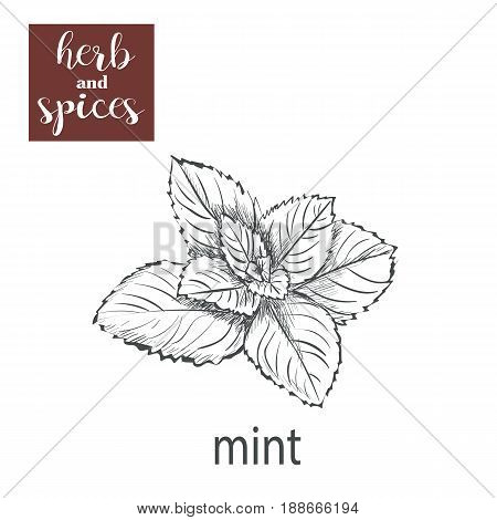 Mint sketch hand drawing. vector illustration of herbs Mint