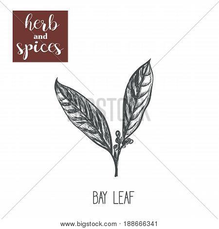 Bay leaf sketch hand drawing. Bay leaf vector illustration of herbs