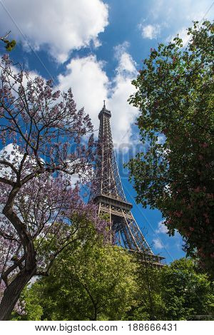 spring blossoming magnolia trees with eifel tower on background