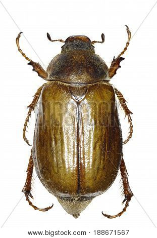 European June Beetle on white Background - Amphimallon solstitiale (Linnaeus 1758)