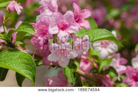 Garden ornamental deciduous shrub Weigela in time of flowering