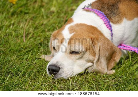 A young puppy hound fell asleep on the grass.