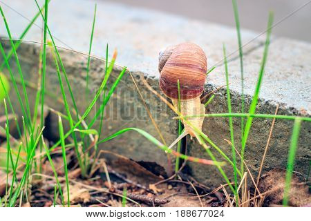 The snail descends along the curb to the grass is a small and beautiful inhabitant of wildlife