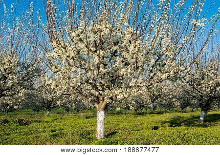 Plum trees in blossom in orchard in spring