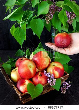 Nectarines in the basket and branches of lilac. Nectarines in women hands