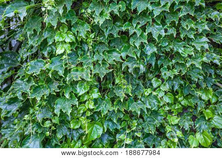 Abstract Composition Of A Wall With Lianas