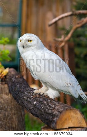 Snowy owl with yellow eyes in a zoo. Sits on a tree.