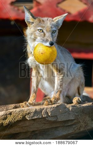 ridiculous Vulpes corsac. portrait of a fox with a yellow sphere. A wild animal in a zoo.