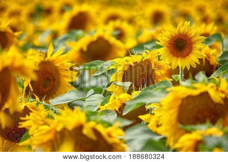 Sunflowers background in sunny day. Agriculture business concept.