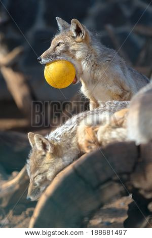 pack of foxes of Vulpes corsac. one fox with the yellow sphere in teeth. A wild animal in a zoo.