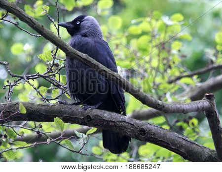 jackdaw perched on a branch in profile