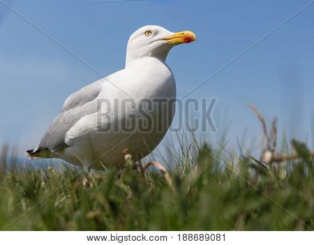 Frog perspective of Herring gull at German island Helgoland in the Northsea