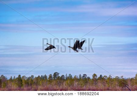Forest-breeding Bean Geese On Background Of Summer Blue Sk