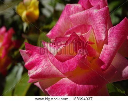 velvety red and pink rose in the spring sunshine