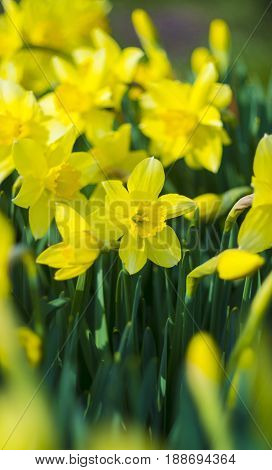 Daffodils. Flowers of daffodils. Yellow daffodil flower in the field. Flower Narcissus in the green grass.