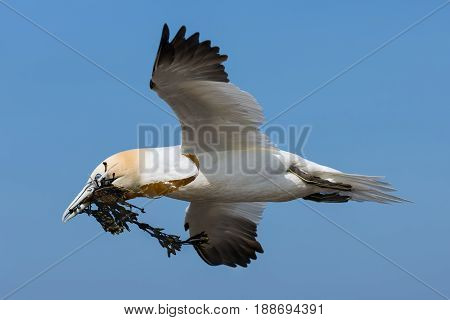 Flying northern gannet collecting kelp to build a nest at the cliffs of German island Helgoland in the Northsea