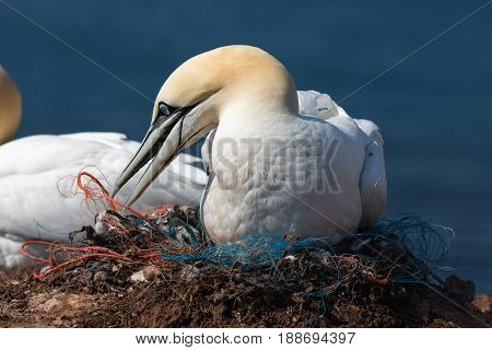 Northern gannet preparing his nest made of pieces of fishermen nets at the cliffs of German island Helgoland in te Northsea