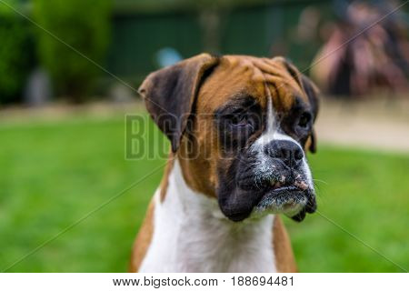 Adorable boxer dog female red and white