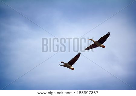 Forest-breeding Bean Goose - Couple Of Breeding Geese
