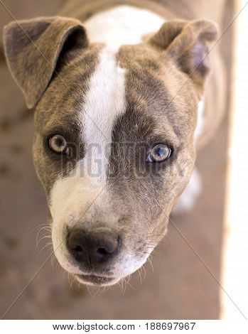 Looking directly into a scared dog's eyes - amstaff lady.