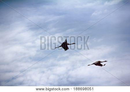 Gray Crane (common Crane, Grus Grus), Pair