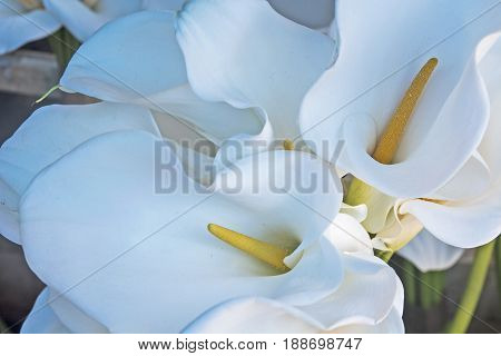 Calla flowers exposed to market flowers enchants and awaiting sale.