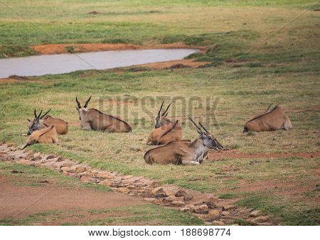 Elands Lying In The Grass At A Range