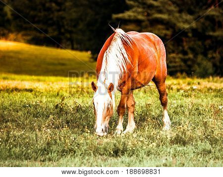 Brown horse with white mane grazing on meadow.