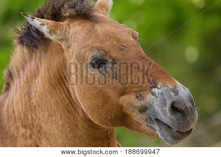 Close-up portrait of Przhevalsky's horse in the zoo. Equus ferus przewalskii.