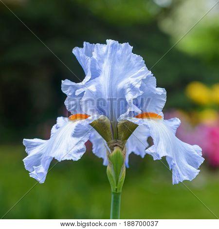 Closeup of flower bearded iris