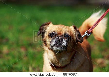 The small Belgian dog Petit Brabancon on green grass
